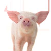 Potpune smeše za svinje